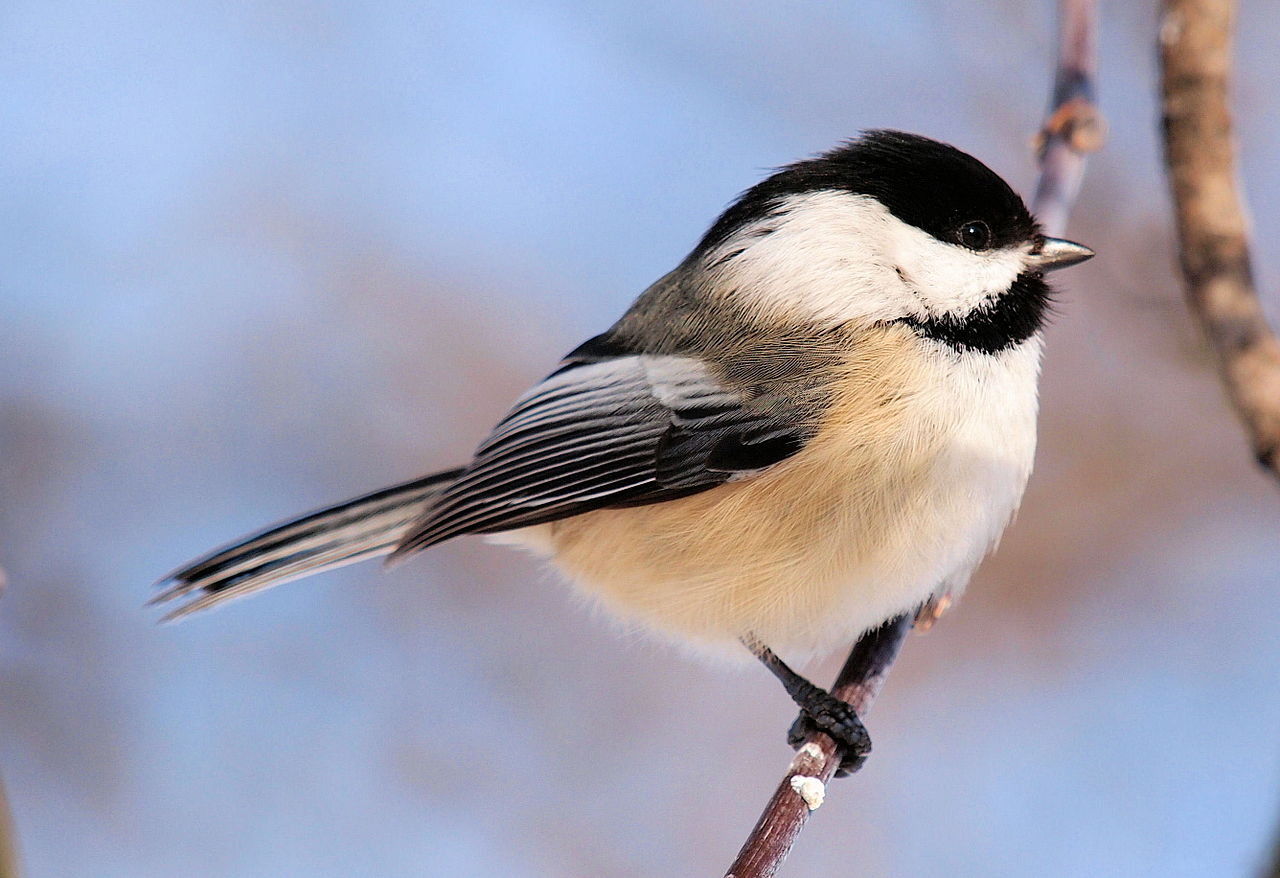 Original file      2 672   215  1 832 pixels  file size  981 KB  MIME type    Black Capped Chickadee Drawing