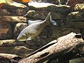 MH-Fische im Haus Ruhrnatur - Silberkarausche 01.jpg