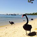 Maali-Black Swan.jpg