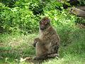 Macaca sylvanus 04 (Piotr Kuczynski).jpg