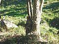 Macaque berbère à Ziama Mansouriah 1 (Algérie).jpg