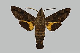 Macroglossum nemesis JH243 male up edi.jpg