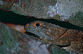 Madagascan Collared Iguana (Oplurus cuvieri) (10274934156).jpg