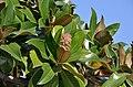 Magnolia grandiflora, Grado 02.jpg