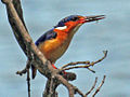 Malagasy Kingfisher RWD.jpg
