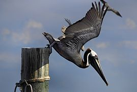 Male Brown Pelican - Flickr - Andrea Westmoreland.jpg