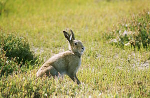 Male Irish mountain hare.jpg