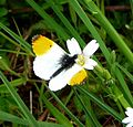 Male Orange Tip.Anthocharis cardamines. - Flickr - gailhampshire.jpg