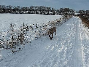 Tracking (dog) - Male Weimeraner Following a Scent Trail in the Snow