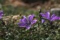 Malva sylvestris, Crete 01(js).jpg