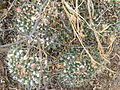 Mammillaria compressa (5706857846).jpg