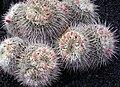 Mammillaria parkinsonii.jpg