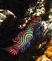 Mandarinfish.jpg