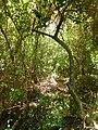 Mangrove ( Guadeloupe ).jpg