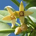 Mangrove - flowers (5608231389).jpg