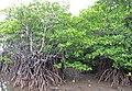 Mangrove près de Banyuwedang - panoramio.jpg