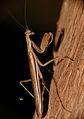 Mantis (Mantidae)(Id ?) (16518528060).jpg