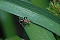 Maratus pavonis Jean and Fred Hort 7.jpg