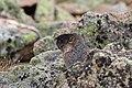 Marmota flaviventris (29270139904).jpg