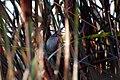 Marsh Wren (3956968022).jpg