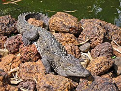 Marsh crocodile - Basking in the sun.jpg