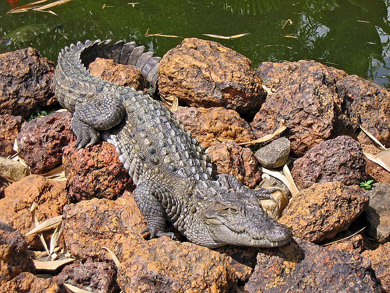 File:Marsh crocodile - Basking in the sun.jpg