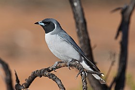 Masked Woodswallow (15993399881).jpg