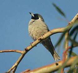 Masked Woodswallow Bowra.jpg