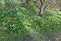 Massed daffodils (WGP) (33264649951).jpg