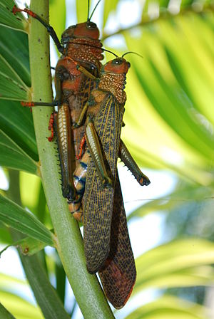 English: Mating Grasshoppers, Uvita, Costa Rica