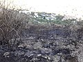 Matollar cremat a Collserola - 20210502 190252.jpg