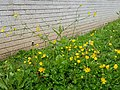 Meadow buttercup towering over creeping buttercup.jpg