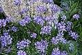 Meadow penstemon Penstemon rydbergii.jpg