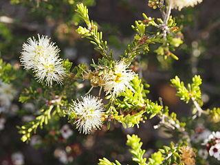 <i>Melaleuca bracteosa</i> Species of shrub