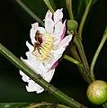 Melastomataceae (Bellucia grossularioides) (28307784169).jpg