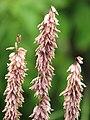 Melica altissima 'Atropurpurea' Perłówka wyniosła 2010-06-20 02.jpg