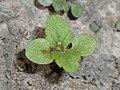 Melissa officinalis subsp. altissima 2018-05-06 1477.jpg