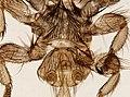 Melophagus ovinus (YPM IZ 093756).jpeg