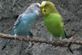Melopsittacus undulatus -Henry Doorly Zoo -two-8a.png
