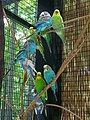 Melopsittacus undulatus -Potter Park Zoo, Michigan, USA-8a.jpg