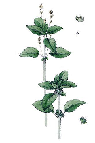 Acalyphoideae - Annual mercury (Mercurialis annua)