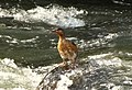 Merganetta armata (Pato de torrente) - Hembra juvenil (14253280824).jpg