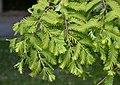 Metasequoia glyptostroboides in Christchurch Botanic Gardens 02.jpg