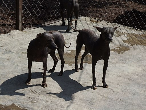 Mexican hairless dogs