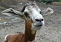 Mhorr gazelle portrait.jpg