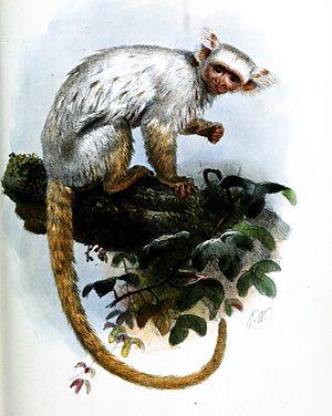 Gold-and-white marmoset - Image: Mico Sericeus Wolf