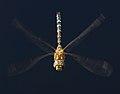 Migrant Hawker Dragonfly 2 (6082862685).jpg