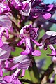 Military orchid - Orchis militaris - panoramio (14).jpg
