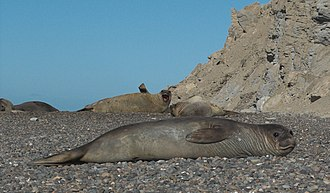 Southern elephant seal - Female (cow), the shores of Patagonia south of Valdes Peninsula.