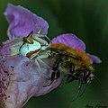 Misumena vatia femelle et mâle, femelle mangeant un Bombus sp. (bourdon).jpg